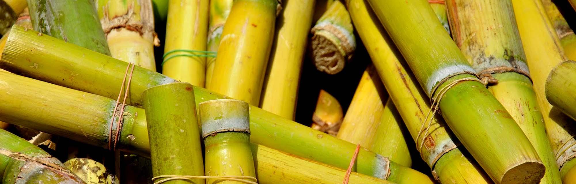05_PinkPig_sugarcane_HR